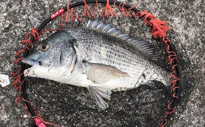 真夏のチヌフカセ釣りでチヌ乱舞 48cm頭に20匹超【和歌山・海南港】