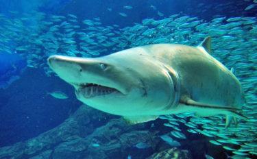サメが「アンモニア臭い」と言われるワケ 尿素を体内にため込むから?