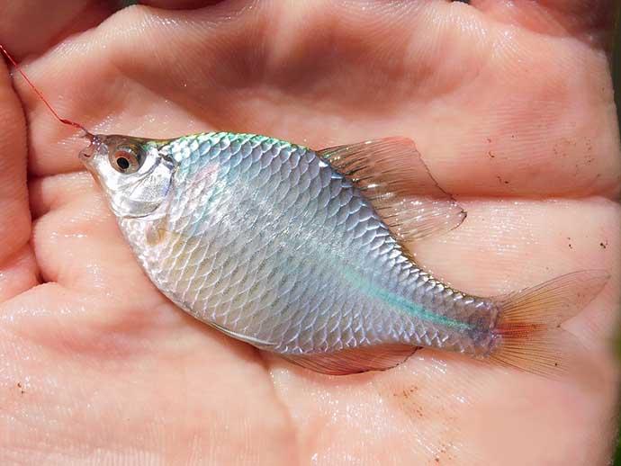 タナゴ釣りのマイ極意を紹介 狙い方で変わる『数と型』