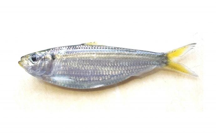 岡山県の水族館で「ママカリ」の展示が人気 正式和名は「サッパ」