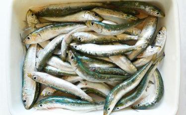函館でイワシが『大量死』 サンマの不漁とも関係があった?