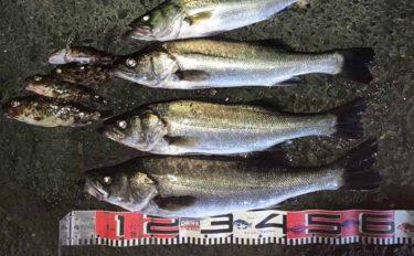 浜名湖伝統漁は楽しみ方が色々 すくった魚泳がせ大型シーバス狙い撃ち