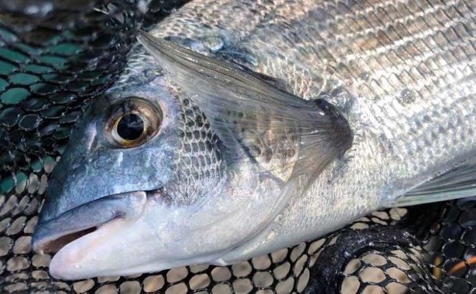 イカダクロダイ釣りで37cm頭に本命27尾手中【三重・やま栄渡船】