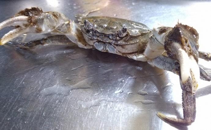 秋の味覚『モクズガニ漁』がスタート 実は高級「上海蟹」と同じ味?