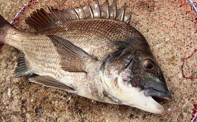 秋の「チヌフカセ釣り」の強い味方『練りエサ』使い方徹底マニュアル