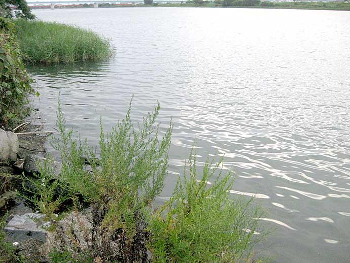 ヘラブナ竿でハゼ釣りに挑戦 2時間31匹で盛期を実感【和歌山・紀ノ川】