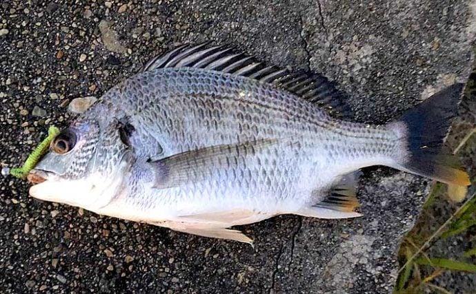 釣り人的「チヌ」と「キビレ」の違い どちらも釣り味最高の好ターゲット