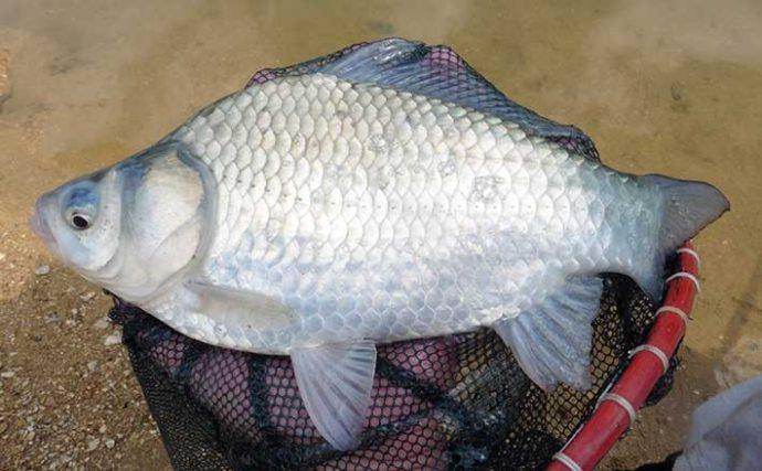 ダム湖でのヘラブナ釣行 巨ベラにサオ折られるも良型16尾【津風呂湖】