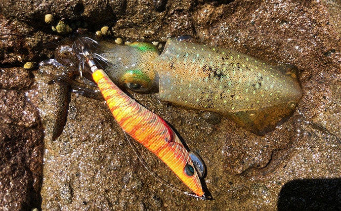 食用イカ界最大級の『ソデイカ』は秋が旬 冷凍した方が美味になる?