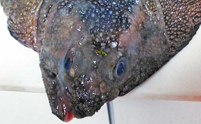 見た目がモンスターな『サメガレイ』 実は「全身大トロ」で味は抜群