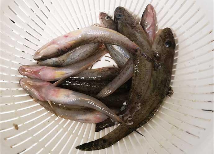 ヘラブナ竿流用の秋ハゼ「ミャク釣り」で本命20匹手中【宮城・松島】