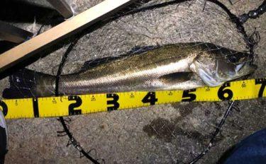 極細エステルラインで60cm超シーバス 釣れたアジにヒット【大阪南港】