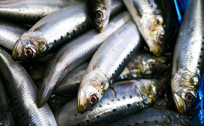 新潟の海岸に『イワシ』が大量漂着 実は昔からよくある現象だった?
