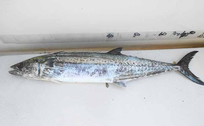 ハイシーズン迎えた明石沖の青物をボートで狙う サワラにメジロ手中