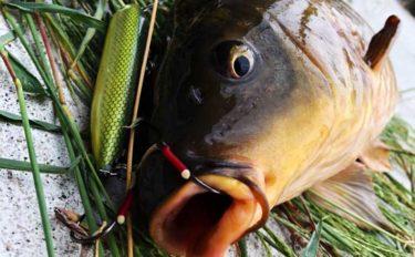 身近な大物「コイ」はルアーで釣れる? 『コイトップゲーム』攻略法3選