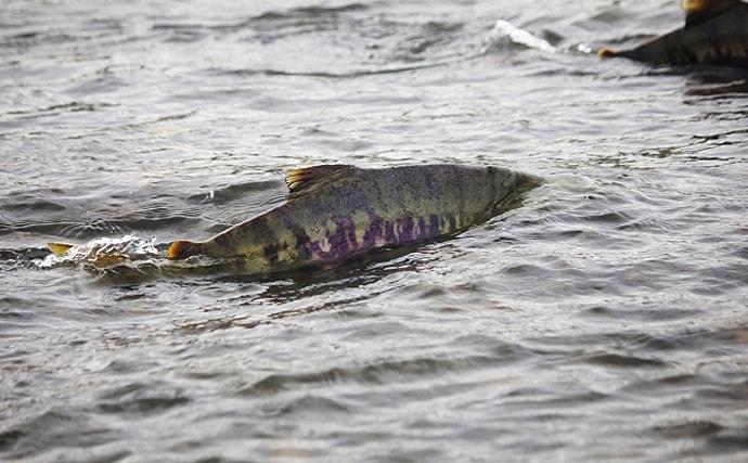 こんなところになぜ? 熊本の小河川で高校生が『鮭』を発見【熊本】