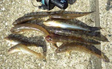 秋の良型『落ちハゼ』釣りで20cmの特大サイズ手中【上総湊・湊川】