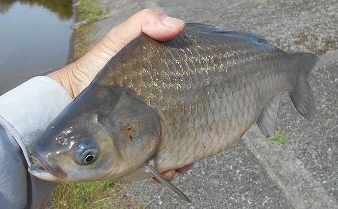 【白川ダム2020】ヘラブナ&コイ釣り攻略法 大型魚ヒットに備えよう