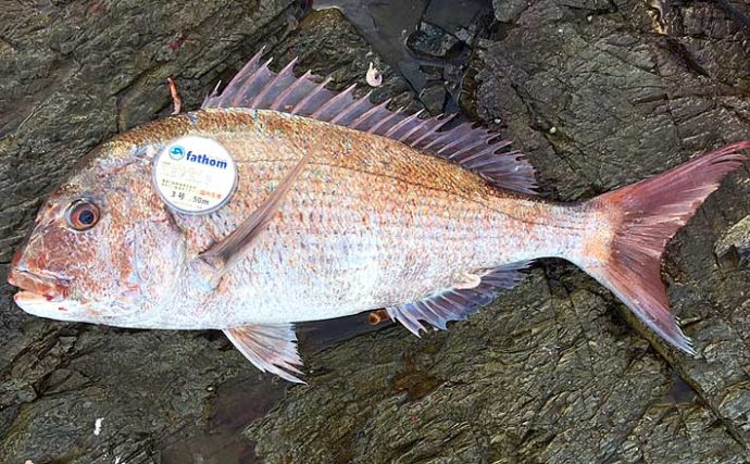 磯フカセ釣りで69cmマダイ浮上 夜明け前のパワーファイト制す【山口】