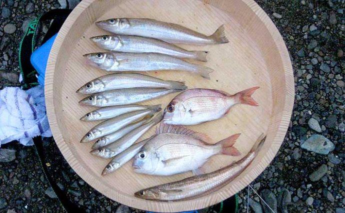 投げキス釣りで『シロギス』2ケタ釣果 夕マヅメにアタリ連発【和歌山】