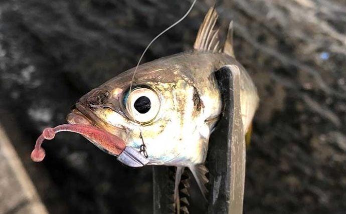 「アジング」ファン視点で見る「アジ」 釣った魚が美味しい理由とは?