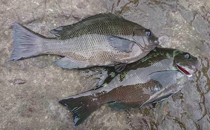 磯フカセ釣りで小メジナ50匹越え ルアーでは40cmヒラスズキも【宮崎】