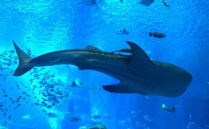 日本海で『ジンベエザメ』の目撃相次ぐ そのフカヒレは超高額だった?