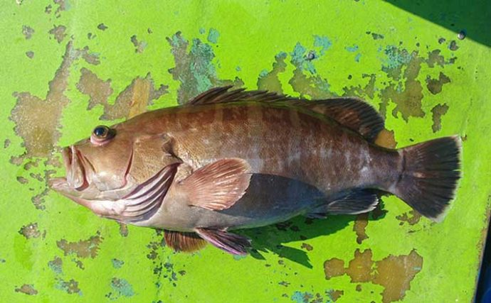 「幻の高級魚」マハタの出荷が最盛期 気軽に食べられる養殖モノも美味