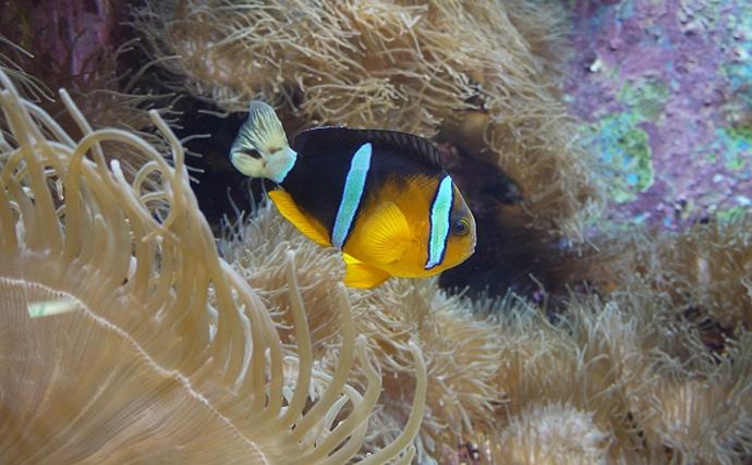 玄界灘で越冬する亜熱帯のサカナを確認 温暖化で変わる各海域の生物層