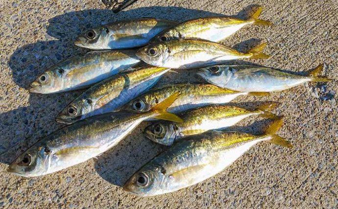 早朝アジングで良型26cm手中 時合狙って数釣りも満喫【福岡・志賀島】