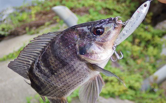 温泉地で『ティラピア』釣り トッププラグで10匹手中【三重・長島】