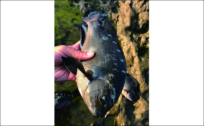 地磯のウキフカセ釣りで32cmグレ 『イシゴカイ』エサにヒット【福岡】