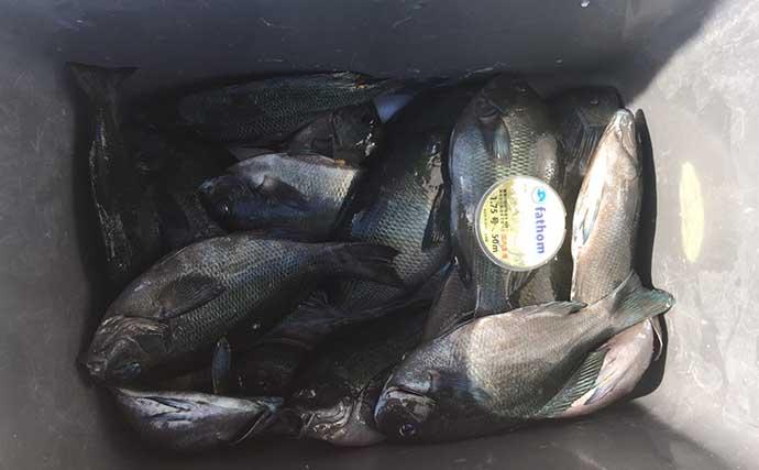 磯フカセで52.5cm「年無し」頭にチヌ3尾 遠近釣り分けがキモ【青海島】