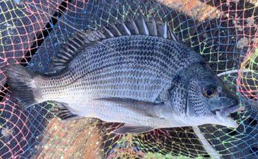 イカダ釣りでチヌ3匹 アイゴに翻弄されても楽しい釣行に【三重・鳥羽】