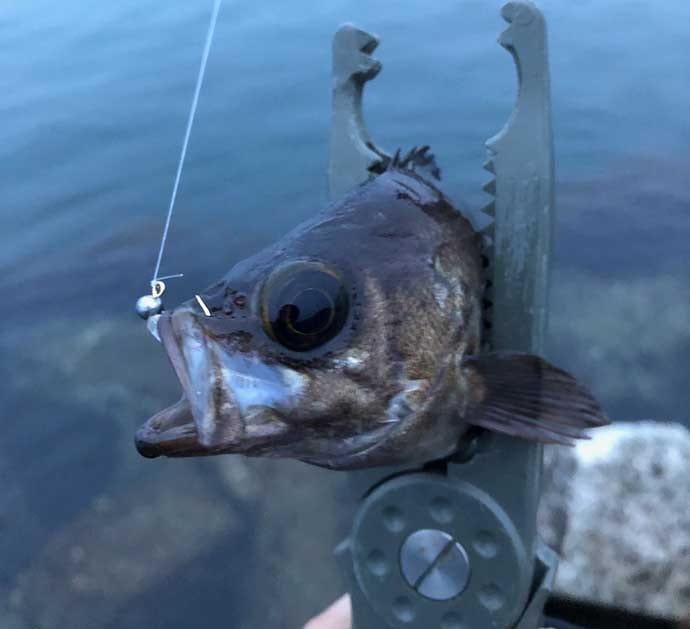 メバリングにひと工夫:憧れの『ブルーバック』を釣る方法