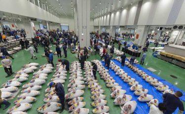 豊洲市場マグロ卸売場が8ヶ月ぶりに見学再開 「日本文化感じて欲しい」