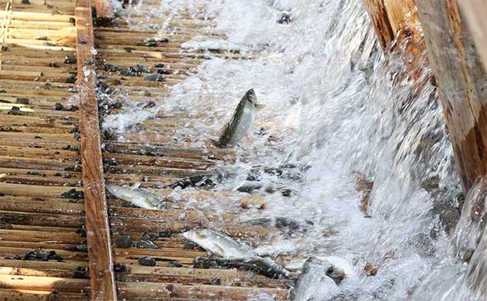 延岡の伝統行事『鮎やな』がまもなく終了 今年の漁獲量は例年の2倍
