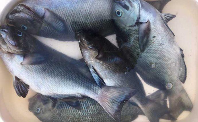 磯でのグレフカセ釣り大会で優勝 ダンゴエサ作戦が奏功【家島諸島】