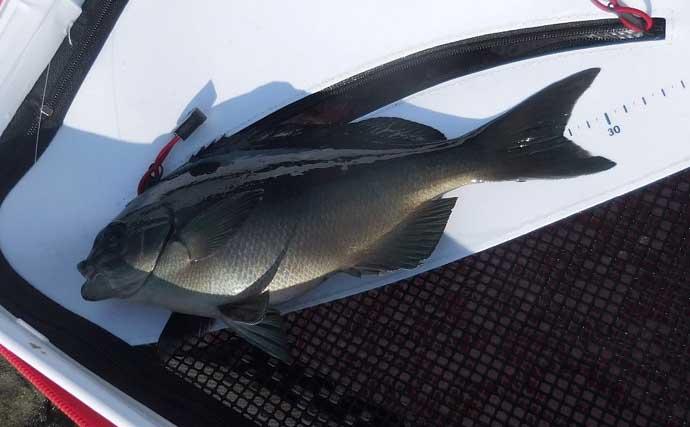 磯フカセ釣りでグレ連発 浅ダナからの沈ませ釣りが奏功【和歌山・萩尾】