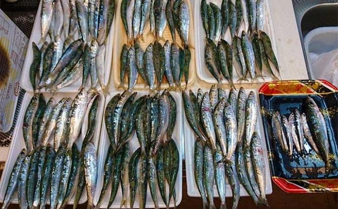 堤防サビキ釣りでマイワシ135匹 入れ食いの理由とは?【愛知・河和港】