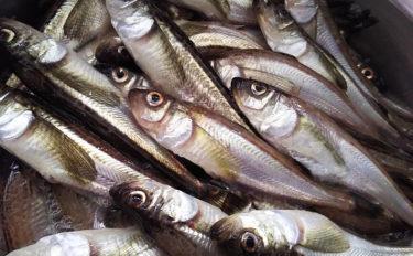 秋田の年取り魚「子持ちハタハタ」が旬を迎える 生食は寄生虫に注意?
