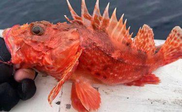 城ヶ島沖で『オニカサゴ』狙い 釣果7匹は高級鍋食材に【いわき丸】