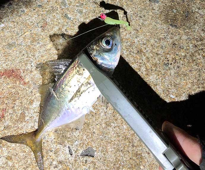 今さら聞けないアジングのキホン:初冬の「豆アジ」釣りを攻略しよう
