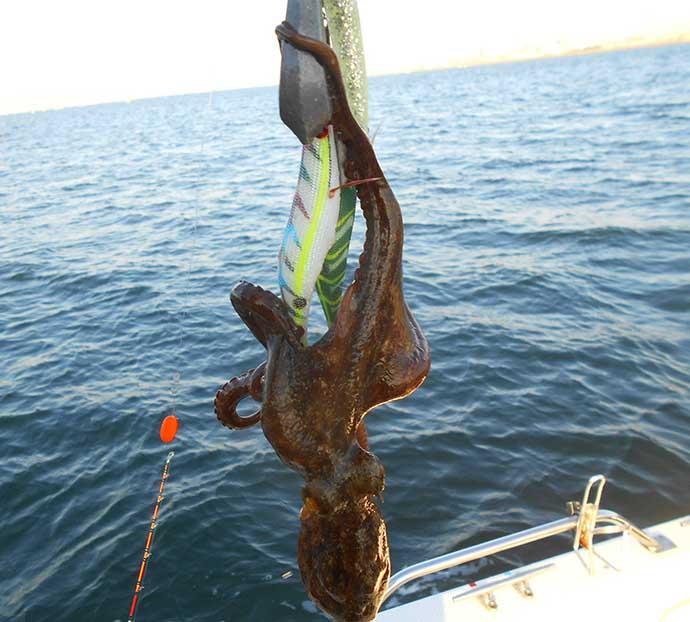 冬のボート釣りで2kg級「マダコ」 正月の縁起物にも最適【明石沖】