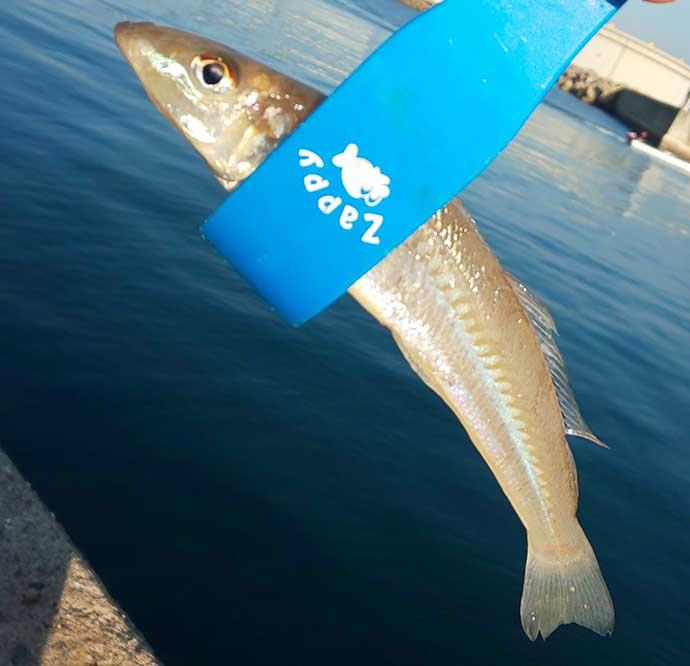 初冬の投げ釣りでキス8匹 河口&波止をリレーして良型快引【和歌山】