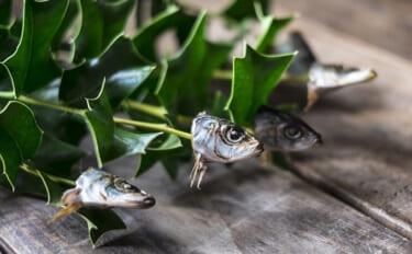 節分にまつわる伝統『柊鰯』 イワシの匂いで鬼を追い払うのが目的?