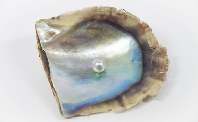 全国で「アコヤガイ」が大量死 世界に誇る「真珠」の国内生産に影響も