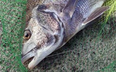 今さら聞けないフカセクロダイ釣りのキホン:「まきエサ」作りの極意