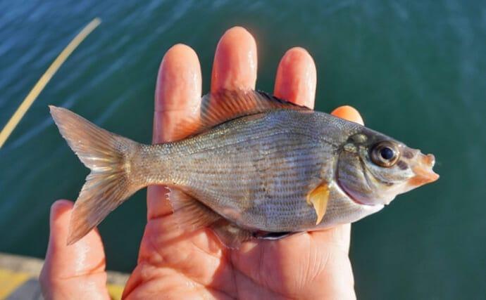 ゲスト魚の定番「ウミタナゴ」は塩焼き調理がオススメ 赤色個体が美味?