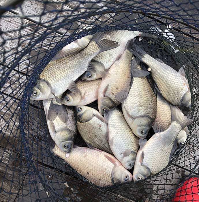 ヘラブナ釣り初心者入門 新ベラ攻略は両グルテンの底釣りで(第13回)